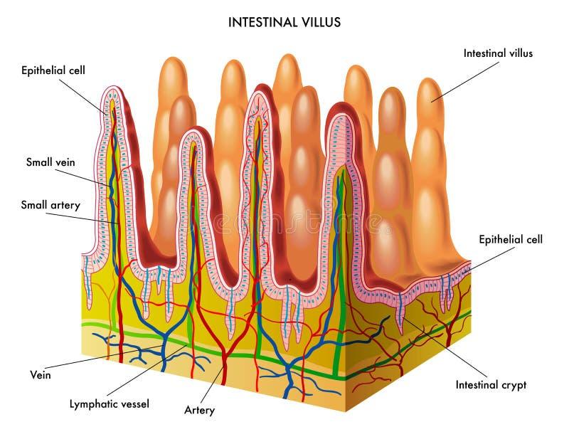 Intestinaal villus royalty-vrije illustratie