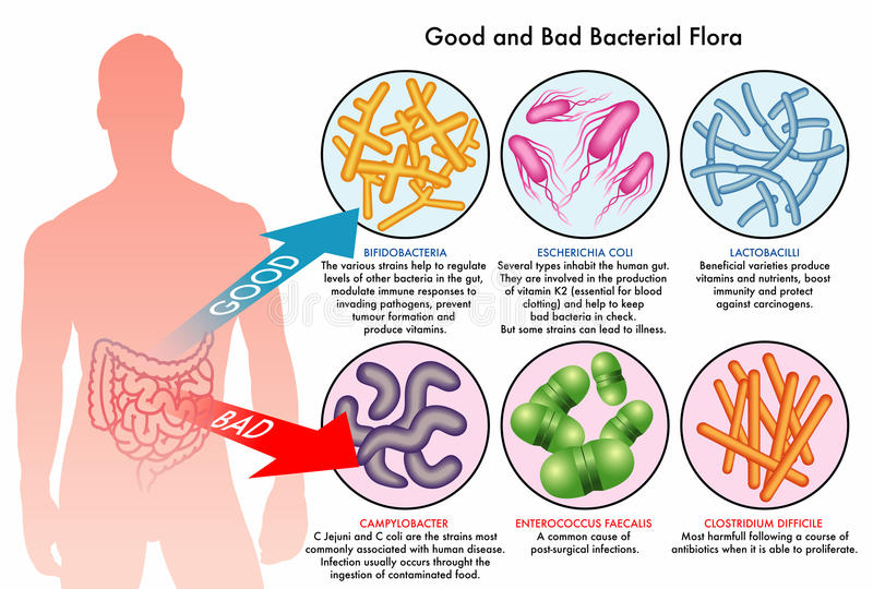 Intestinal bacterial flora royalty free stock images