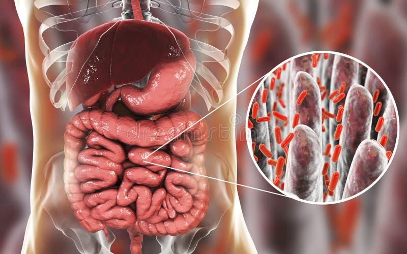 Intestinal microbiome, close-up view of intestinal villi and enteric bacteria vector illustration