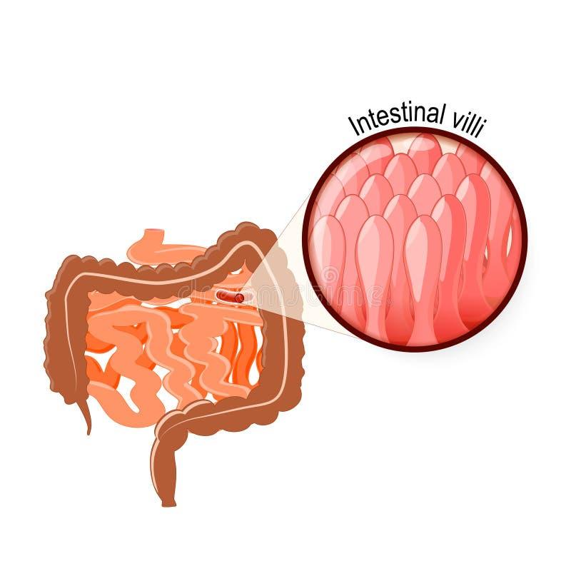 Intestinal Villi Large And Small Intestine Stock Vector