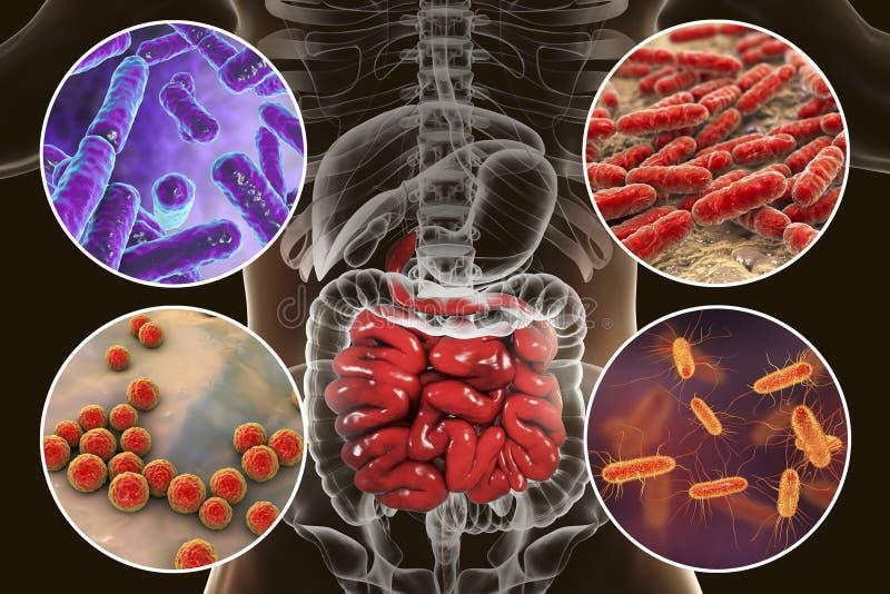 Intestinale microbiome, bacteriën die dunne darm koloniseren vector illustratie