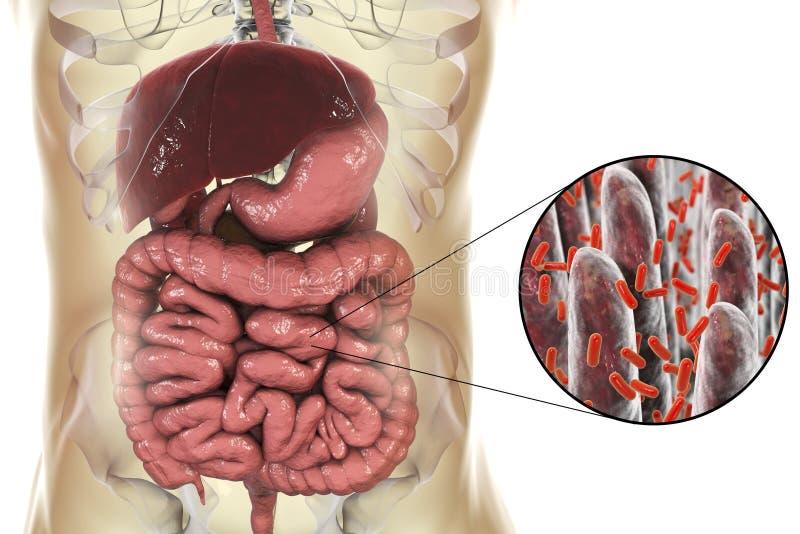Intestinale microbiome, close-upmening van intestinale villi en darmbacteriën vector illustratie