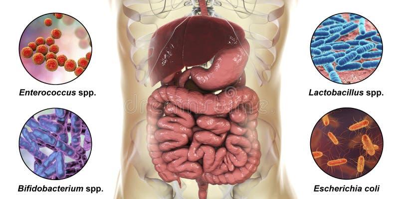 Intestinales Microbiome, Bakterien, Die Verschiedene Teile Des ...