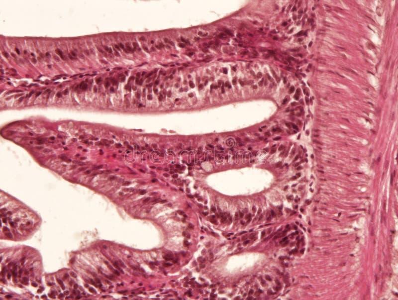 Intestine animal tissue stock photo. Image of diagram ...