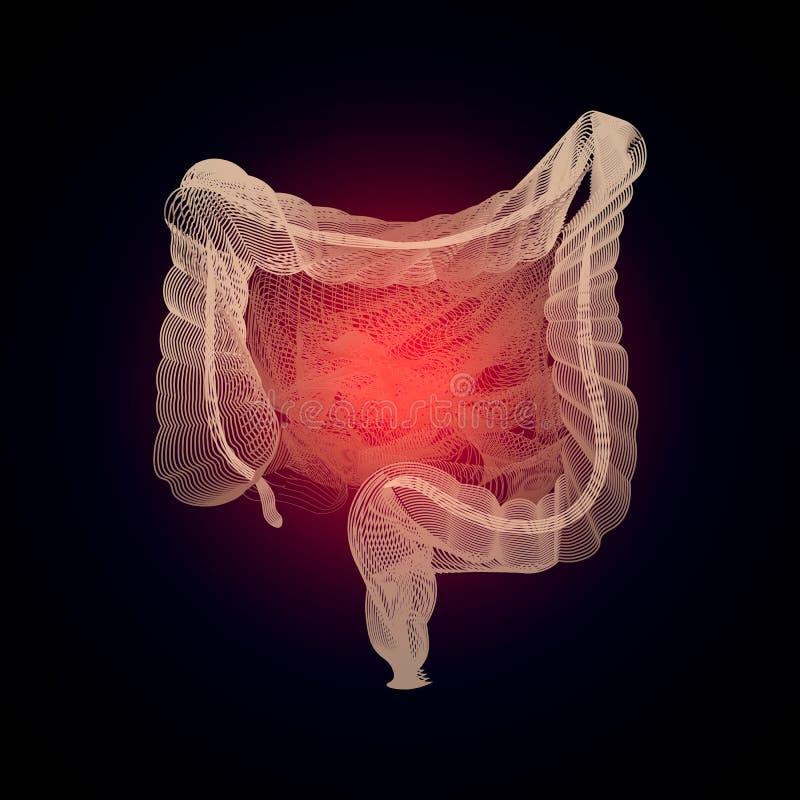 Intestini isolati vettore con il centro di dolore concetto della medicina dell'organo umano 3D con la linea Anat dell'intestino d royalty illustrazione gratis