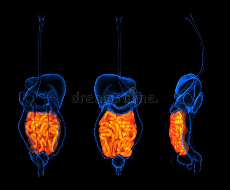 Intestino delgado do sistema digestivo ilustração do vetor