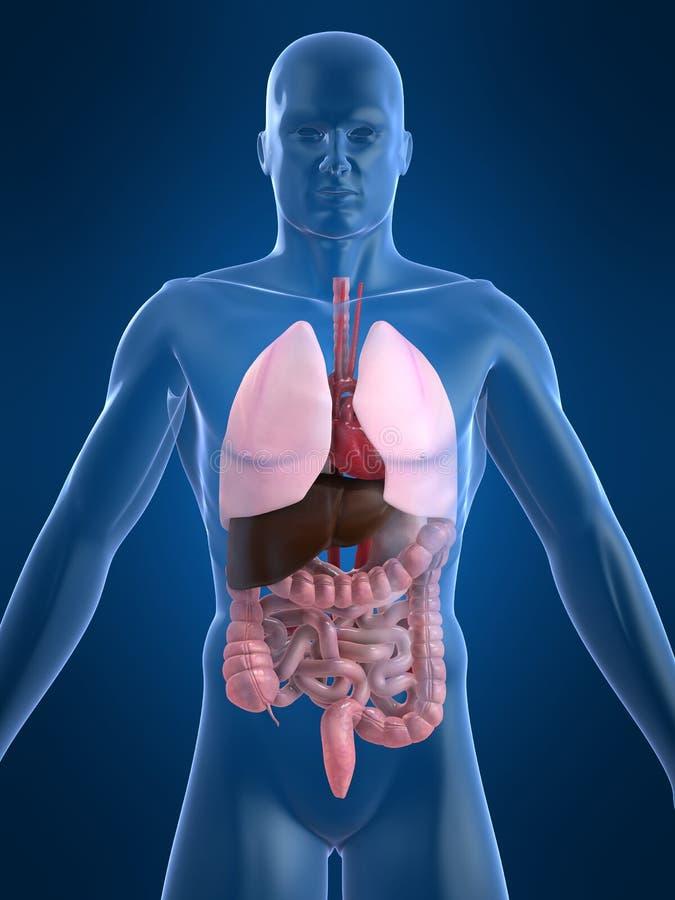 Intestinos humanos stock de ilustración. Ilustración de salud - 2462925