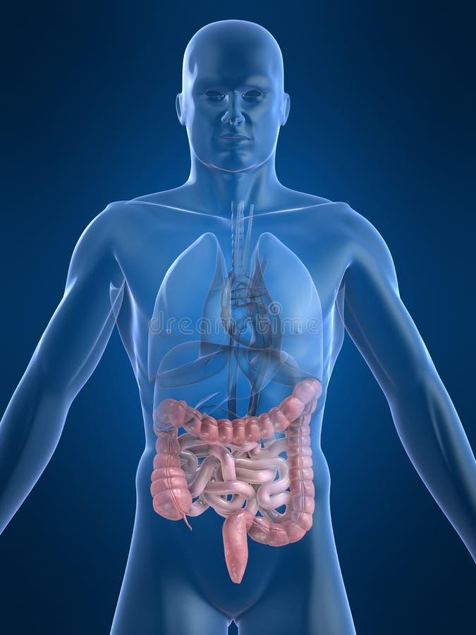 Intestinos humanos stock de ilustración. Ilustración de rayo - 3371318