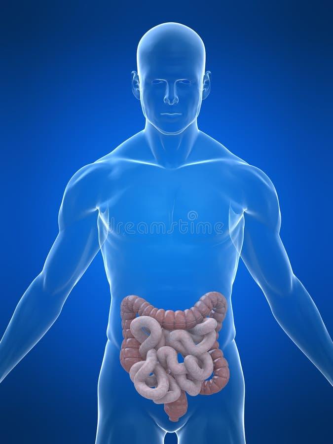 Intestinos humanos stock de ilustración. Ilustración de digestivo ...