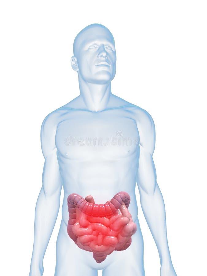 Intestins enflammés illustration stock