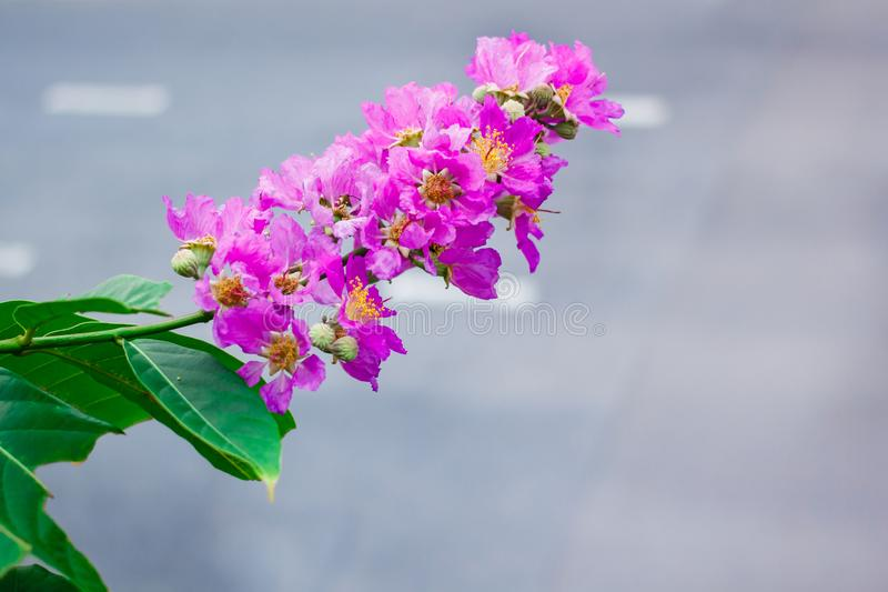 Inthanin,女王/王后的花,与美丽的紫色花的大树 免版税库存图片