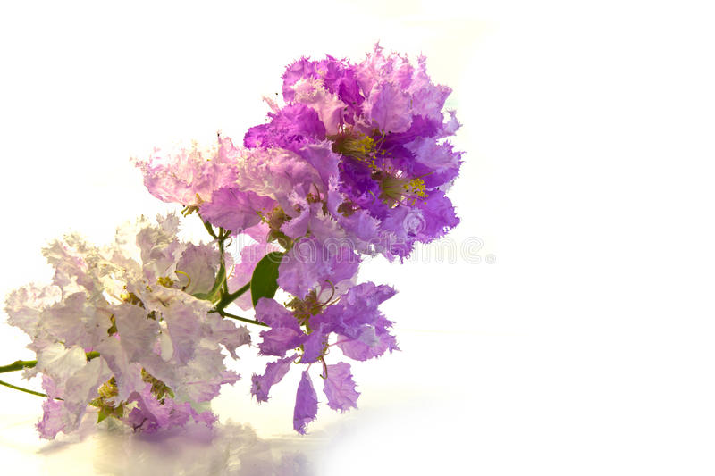 Inthanin Flowers. Pink and Purple Inthanin flowers on with background royalty free stock images