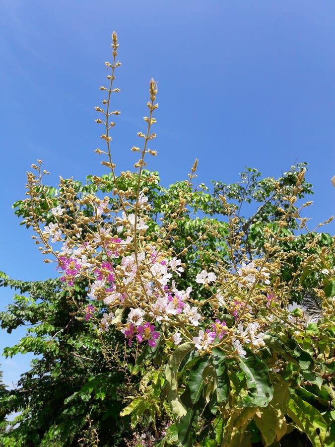 Inthanin kwiaty lub królowej crape mirt obrazy stock