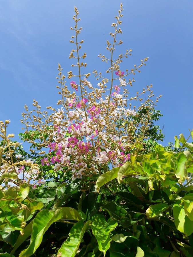 Inthanin kwiaty lub królowej crape mirt zdjęcia stock