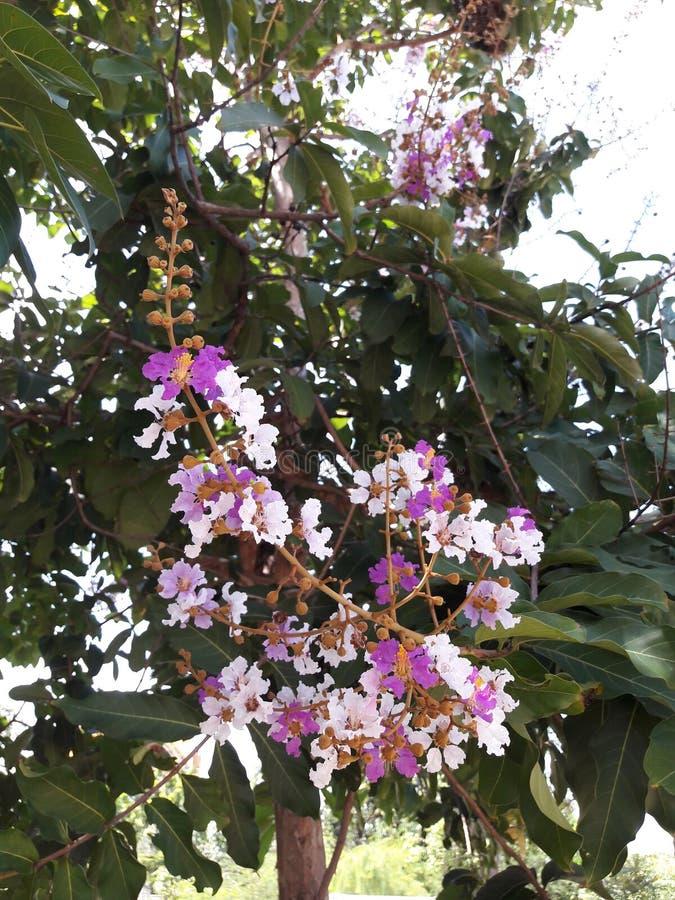 Inthanin kwiaty lub królowej crape mirt obraz stock