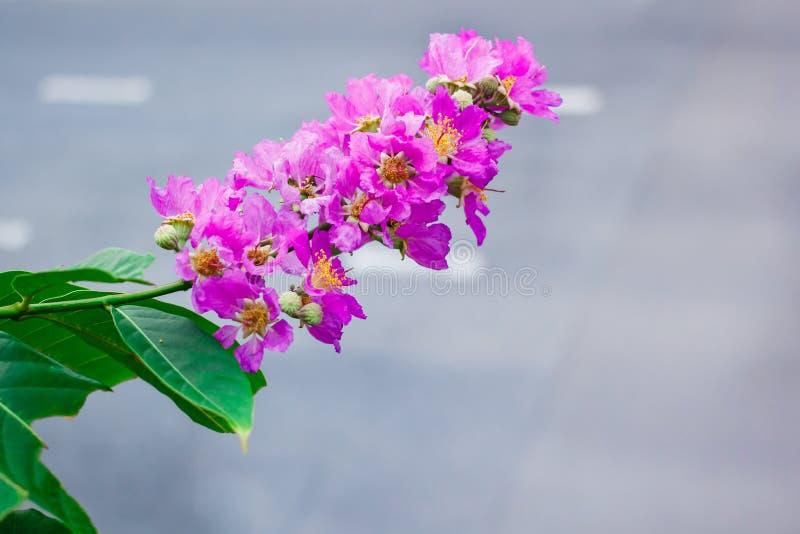 Inthanin, la fleur de la reine, grand arbre avec de belles fleurs pourpres image libre de droits