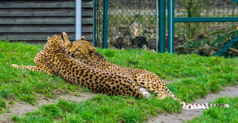 Intimate cheetah couple laying together in the grass, popular zoo animals, vulnerable animal specie from Africa. A intimate cheetah couple laying together in the stock photo