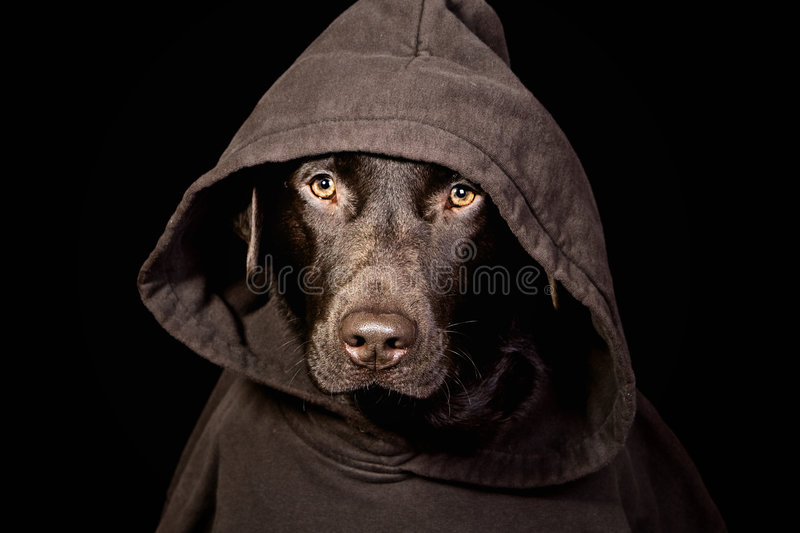 Intimidating Chocolate Labrador in Hooded Top. Shot of an Intimidating Chocolate Labrador in Hooded Top stock photography