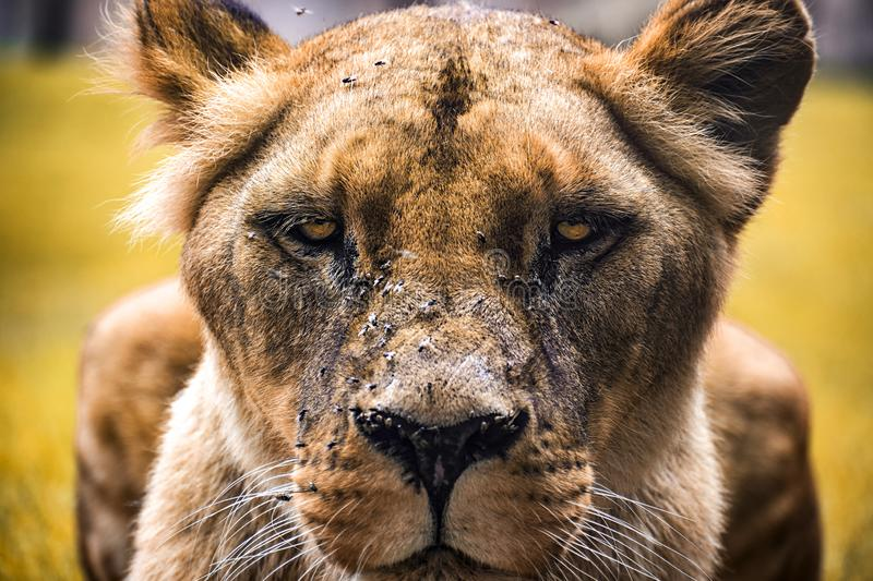 Intimidating lioness staring at you. While sit in the grass adventure africa african animal animals authority big cat carnivore close-up closeup colorful stock image
