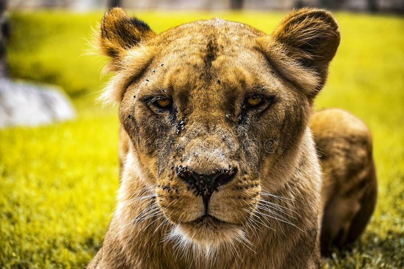 Intimidating lioness staring at you while sit in the grass. Intimidating lioness staring you sit grass stock photo