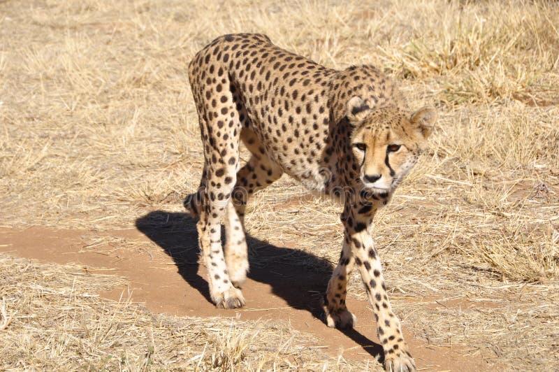 Intorno 300 ghepardi sono lasciati in Kalahari namibiana immagine stock