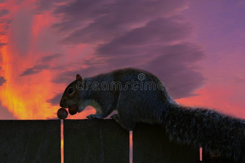 Intressant detalj Stående av för ekorre ett slut upp Det finns en ekorre på ett trästaket Mycket trevlig solnedgång i bakgrunden fotografering för bildbyråer