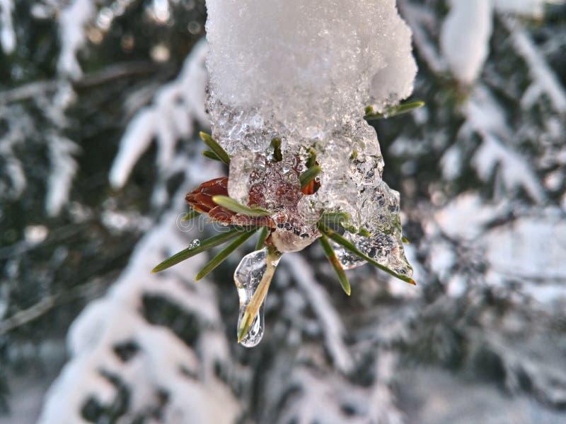 Intresting lodowa formacja na sosnowej gałąź zdjęcia royalty free