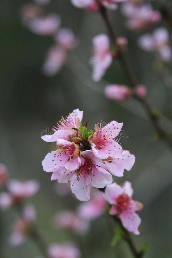 Intricate peach blossoms cling to dark branches in the early spring royalty free stock images