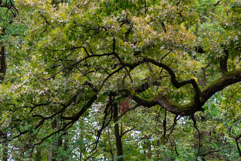 Intricate Tree Branches with Leaves in the Forest at the Sagawau Forest Preserve in Lemont Illinois stock photos