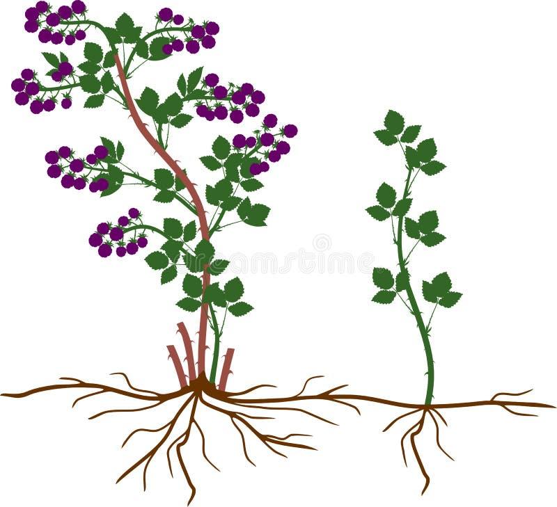 Intrig för reproduktion för Blackberry växt vegetativ stock illustrationer