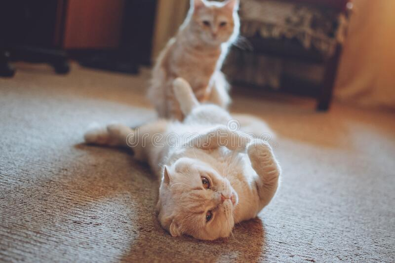 Introducing Two Cats. Adopt a Second Cat. Adding a second cat to your household. Peaceful multi-cat home companions, playmates royalty free stock images
