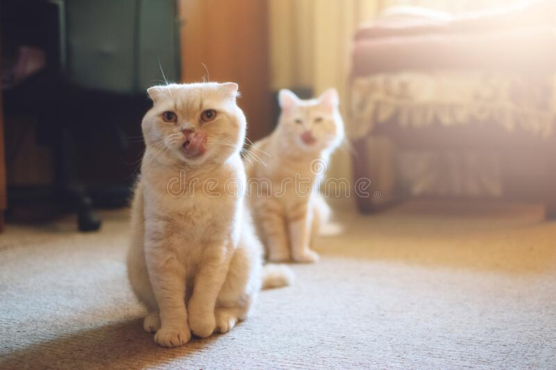 Introducing Two Cats. Adopt a Second Cat. Adding a second cat to your household. Peaceful multi-cat home companions, playmates royalty free stock photo