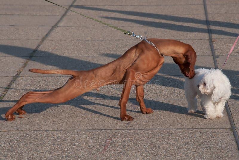 Introduktion av två hundkapplöpning arkivfoto