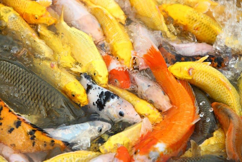 Introduzca los pescados de la carpa imagenes de archivo