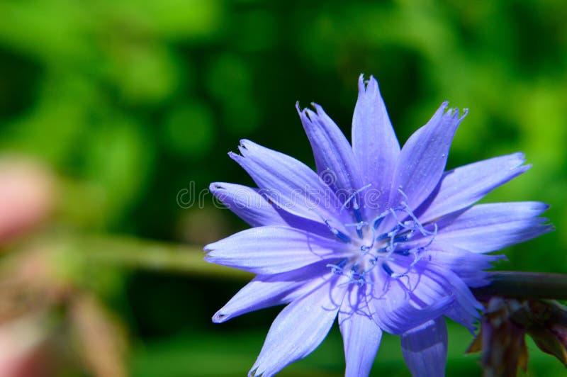 Intybus comum do Cichorium da chicória da flor azul foto de stock