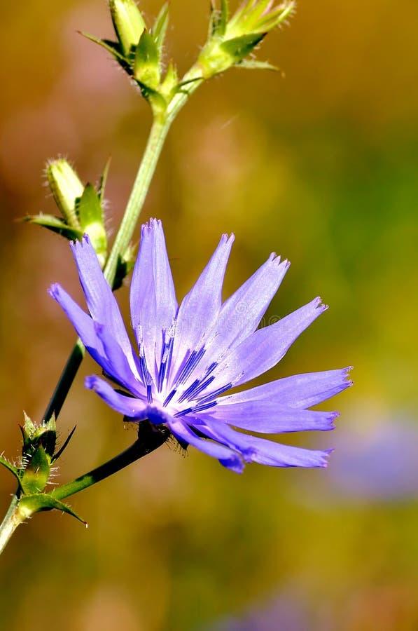 Intybus del Cichorium Bello fiore del prato immagini stock