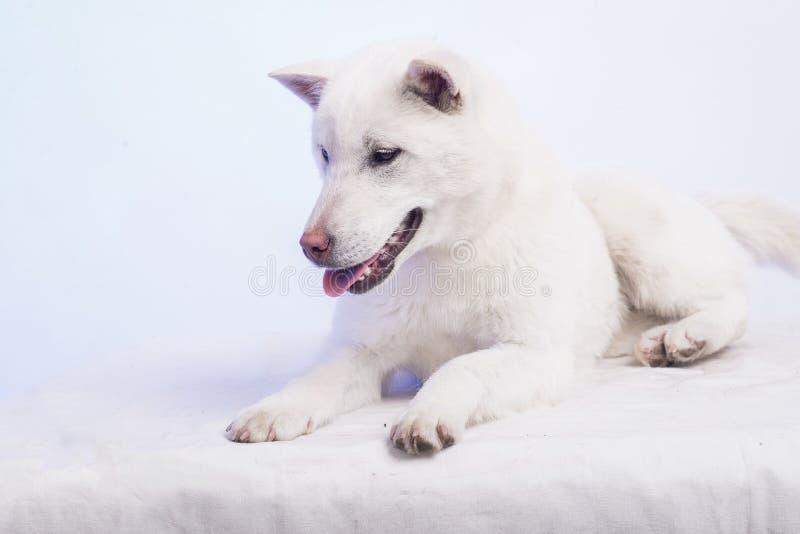 Inu blanc de kishu image libre de droits