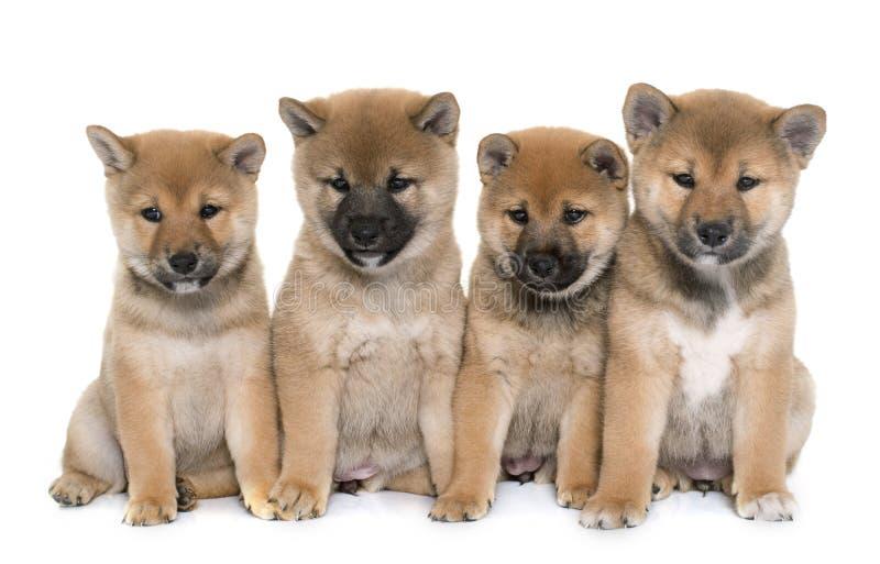 Inu del shiba de los perritos foto de archivo