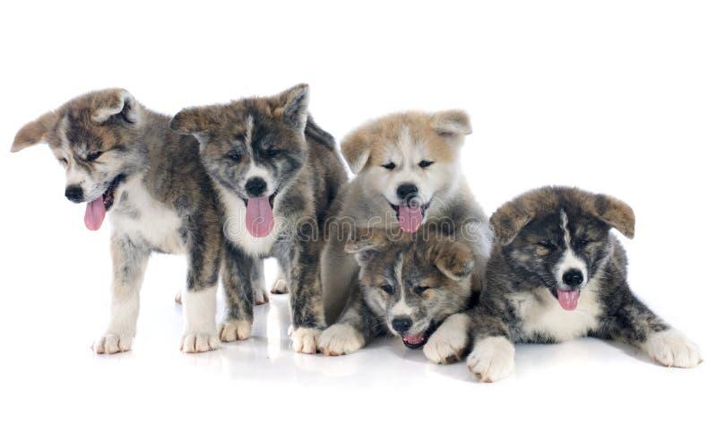 Inu di akita dei cuccioli fotografia stock