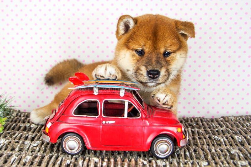 Inu mignon de Shiba de race de chiot photographie stock libre de droits