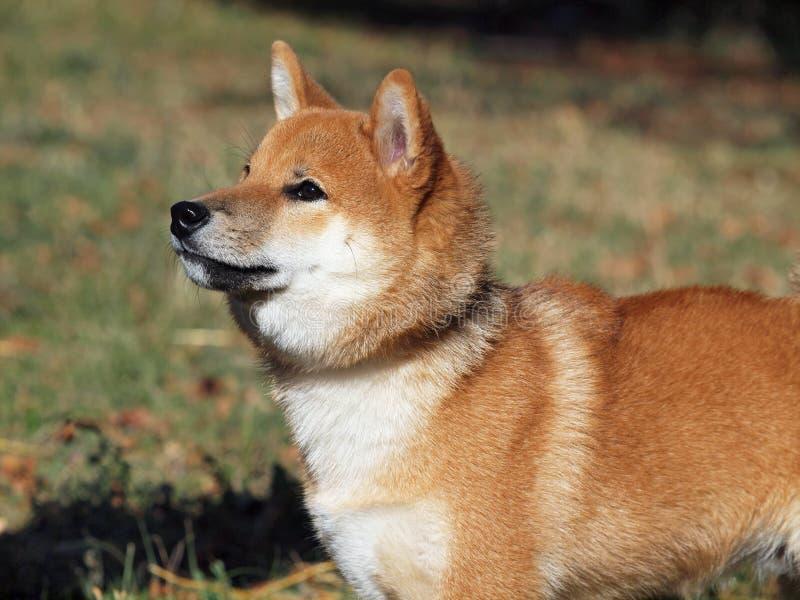 Inu rojo joven del shiba del perro imagenes de archivo