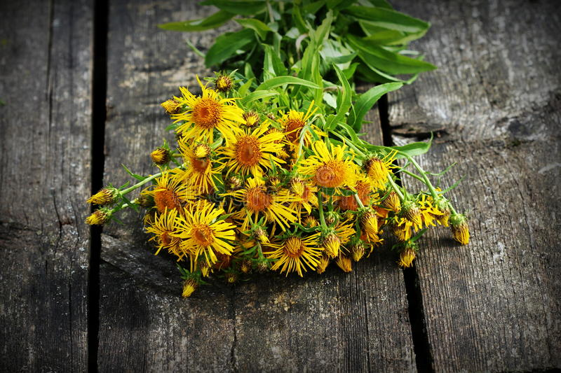 Inula helenium or horse-heal or elfdock yellow flowers with green on wooden background. Medical plant contains a lot of royalty free stock photo