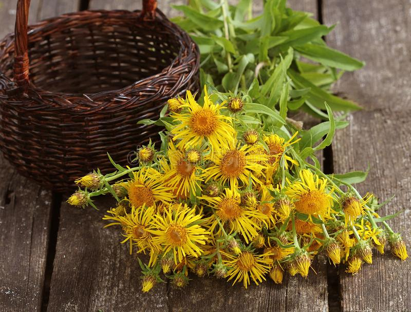 Inula helenium or horse-heal or elfdock yellow flowers with green on wooden background. Medical plant contains a lot of stock image