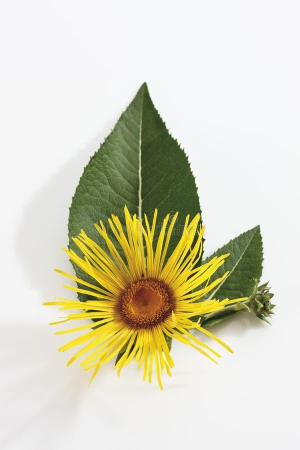 Inula (Inula) bloem met bladeren stock afbeeldingen