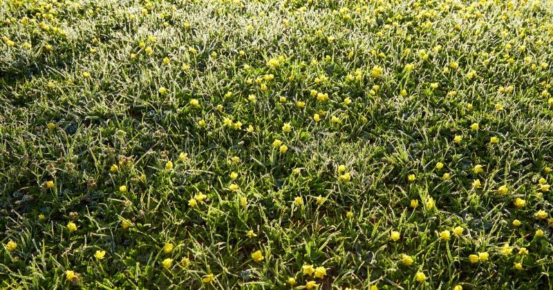 Inumidisca su un'erba e sui piccoli ornamenti gialli nelle prime ore del mattino dentro fotografia stock libera da diritti