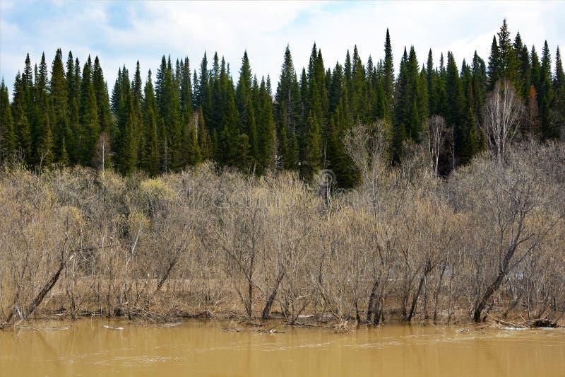 Inundação da mola no rio Siberian do taiga fotos de stock