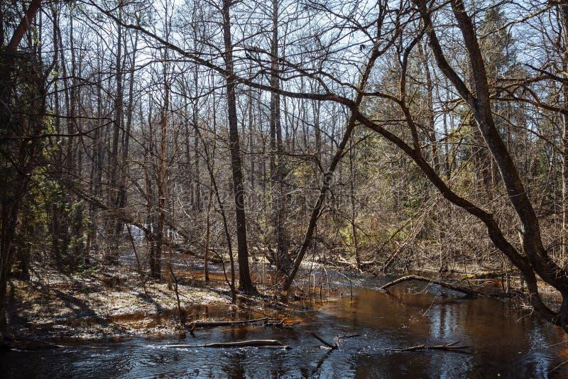 A inundação do rio na floresta com pinheiros altos na primavera imagens de stock royalty free