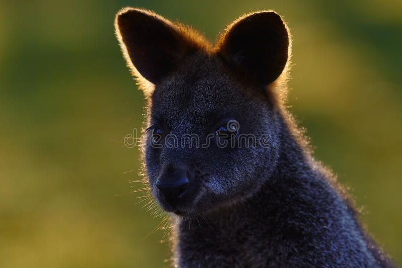 Inunde o ualabi, Wallabia bicolor, seja um marsupial pequeno do macropod de Austrália oriental, este canguru é sabido igualmente  fotografia de stock royalty free