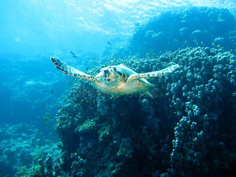 InvånareRöda havet arkivfoton
