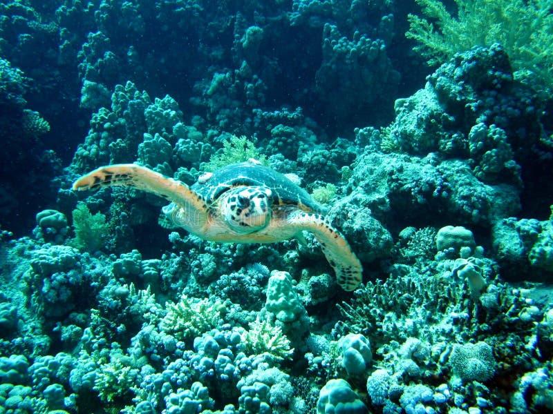 InvånareRöda havet royaltyfri fotografi